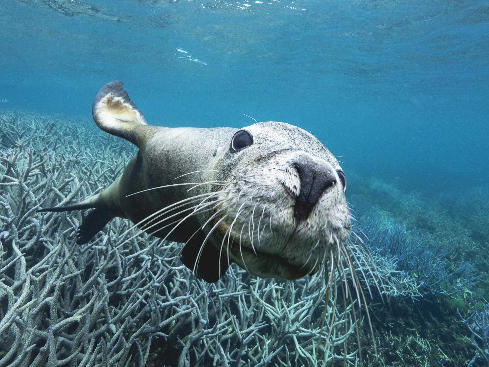 Seal at the Abrolhos Islands