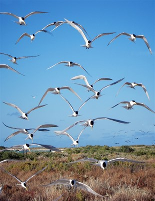 Eco Abrolhos Cruises - Terns at Wooded Island