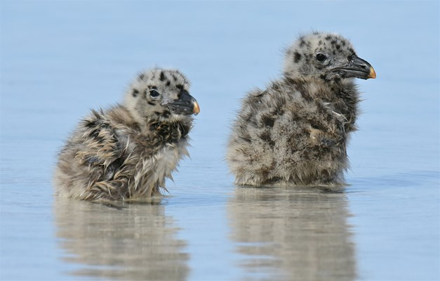 Eco Abrolhos Cruises - Juvenile Pacific Gulls