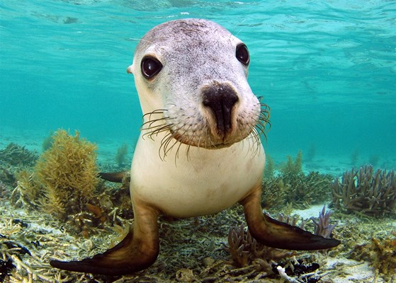 Eco Abrolhos Cruises - Snorkelling with Sea Lions is a