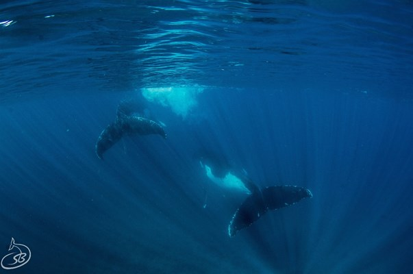 Exmouth Dive & Whalesharks Ningaloo - Humpback whales at play
