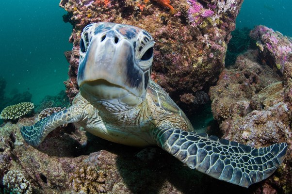 Exmouth Dive & Whalesharks Ningaloo - Inquisitive Turtle